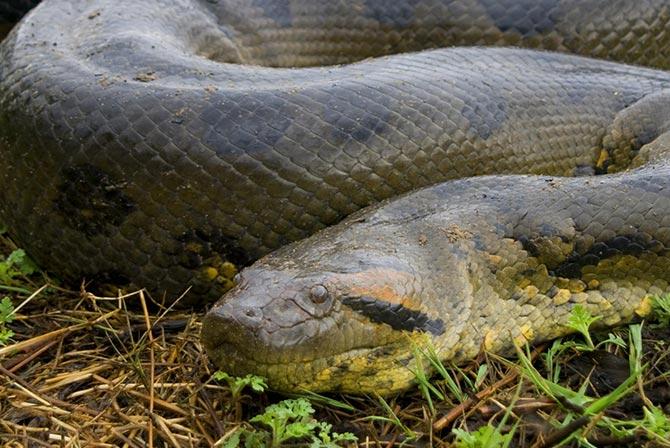 Anaconda in Pampas Bolivia