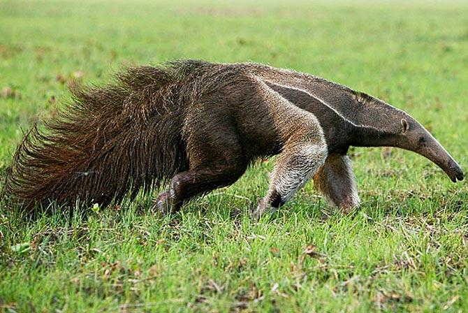 Giant Anteater Madidi Jungle Bolivia