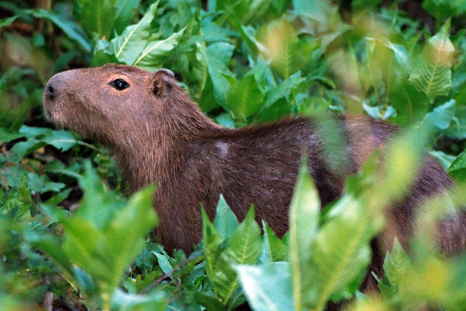 Capybara in Pampas Bolivia