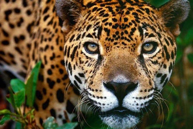 Jaguar Madidi Jungle Bolivia