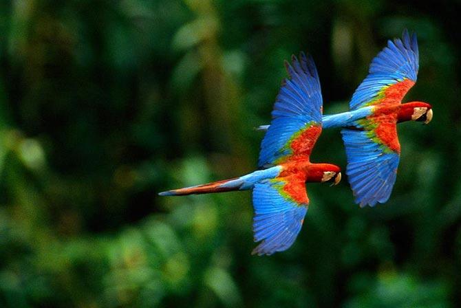 Macaws in Madidi Jungle Bolivia