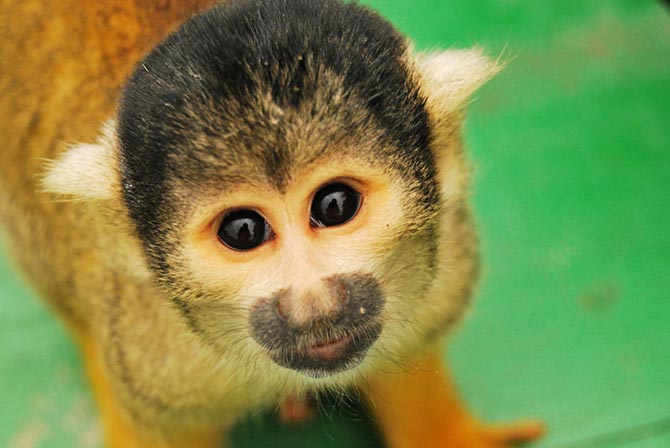 Monkey in Pampas Bolivia