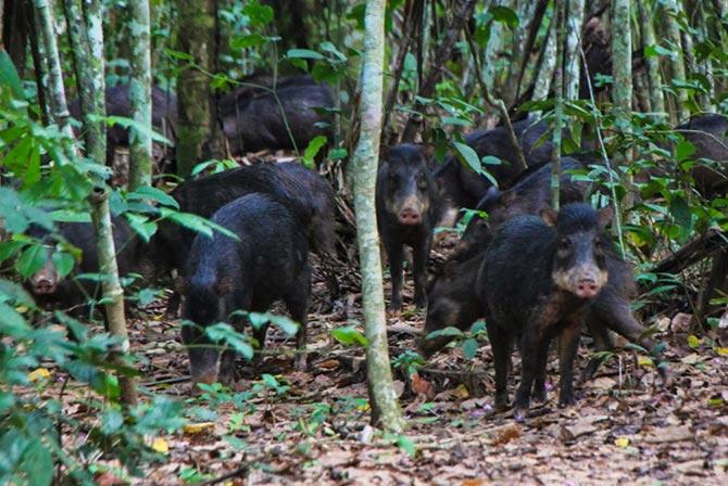 Wild Pigs in Madidi Jungle Bolivia
