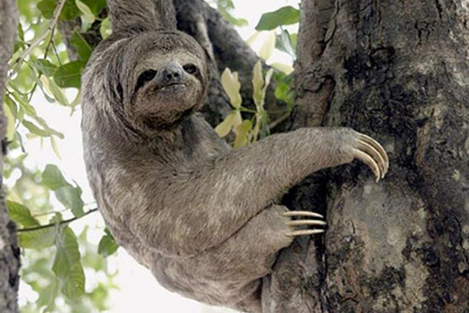 Sloth in Pampas Bolivia
