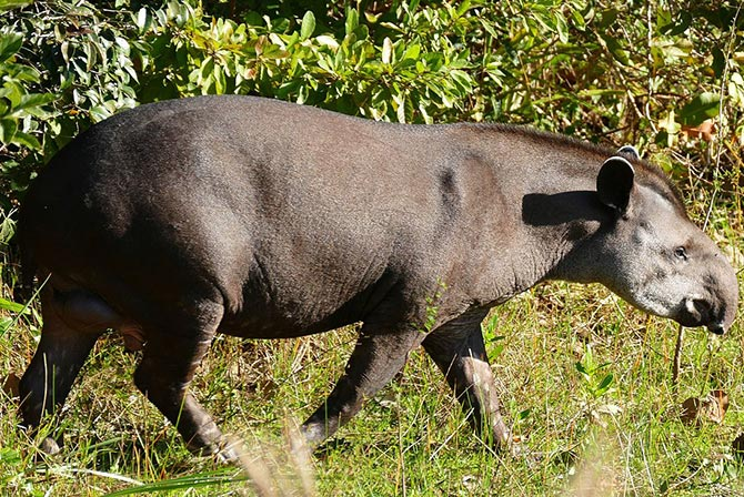 Tapir in Madidi Jungle Bolivia