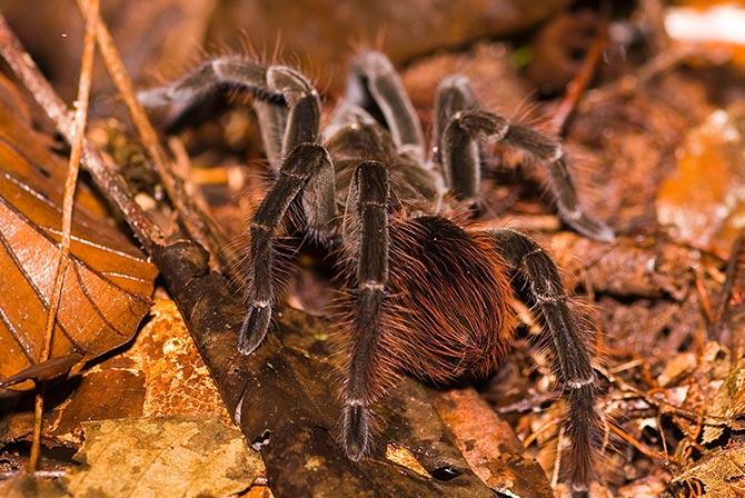 Tarantula in Madidi Jungle Bolivia